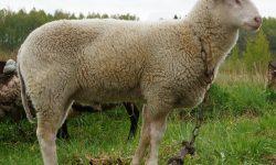 Овцеводство: Бизнес план для начала этого бизнеса в России и Ураине