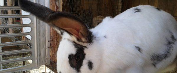 Разведение кроликов как домашний бизнес