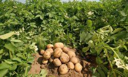 Бизнес на выращивании картофеля