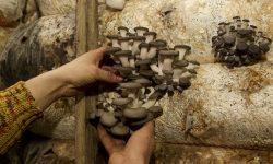 Вешенка – гриб, растущий круглый год.