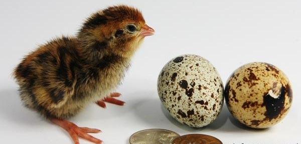 Выращивание перепелов на яйца