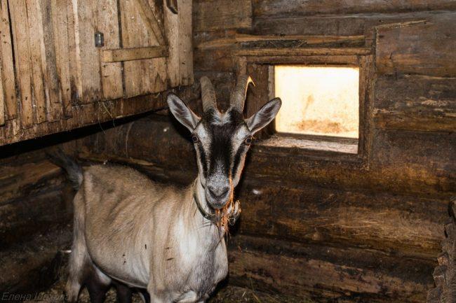 Хлев для коз