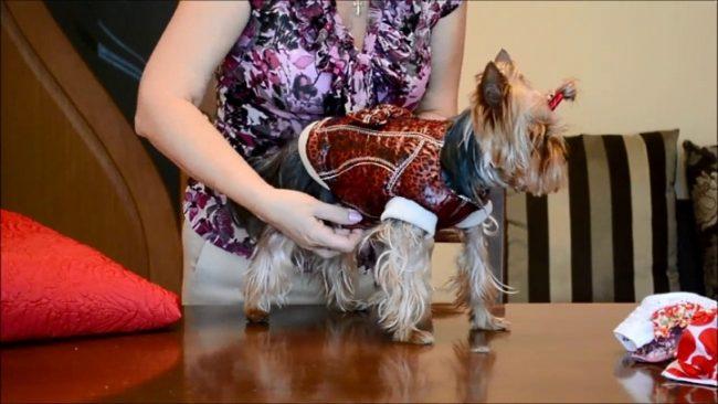 Собака в костюме на столе
