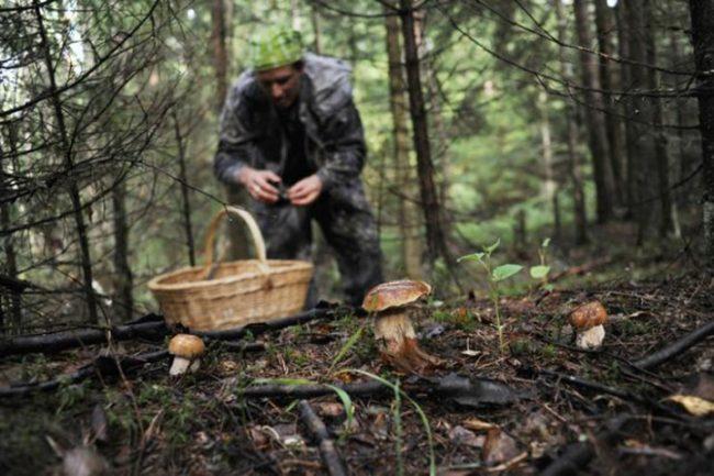 Мужчина собирает грибы