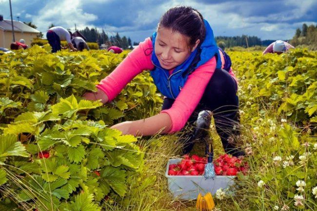 Сбор ягод в Финляндии