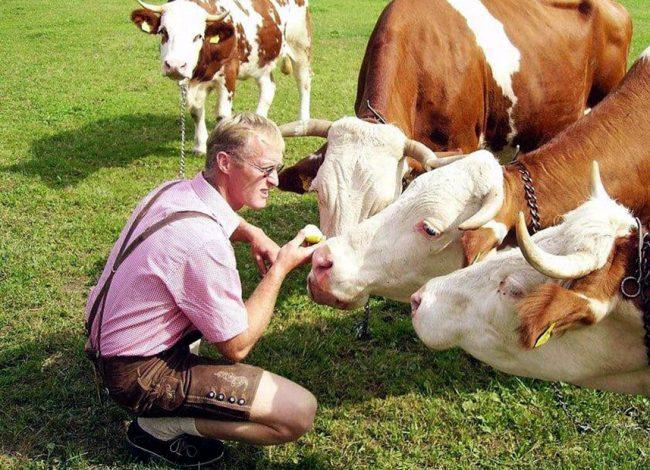 Фермер с коровами